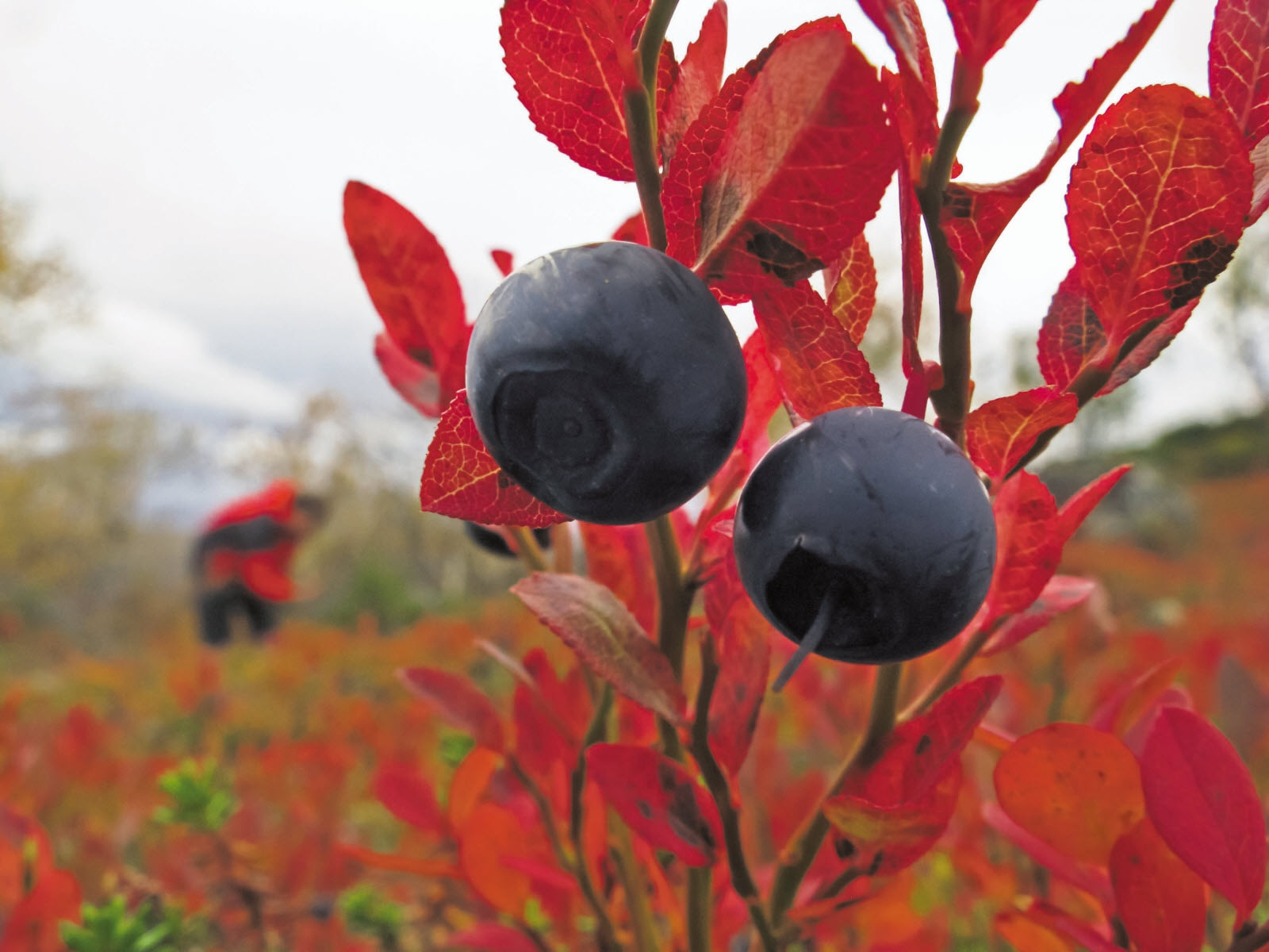 Vastavalo_autumn_bluberries.jpg